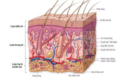 Nếp nhăn hình thành do các sợi collagen và elastin bị đứt gãy
