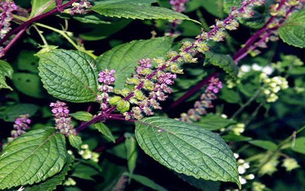 Hương nhu là loài cây thuốc nam quý
