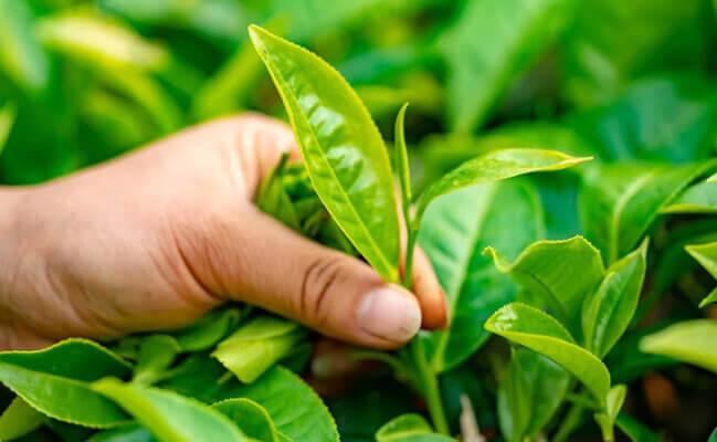 Uống trà xanh giảm mỡ bụng sau sinh 5 tháng