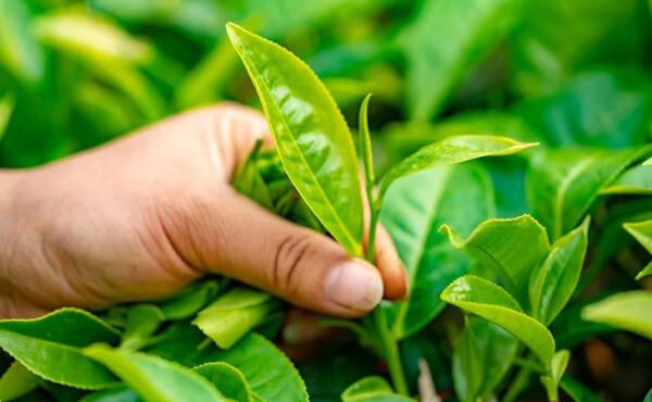 Trong lá chè xanh có chứa 20% tanin có tác dụng sát khuẩn cực tốt.