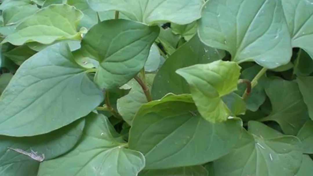 Đây là một loại rau xuất hiện nhiều ở các nước châu Á