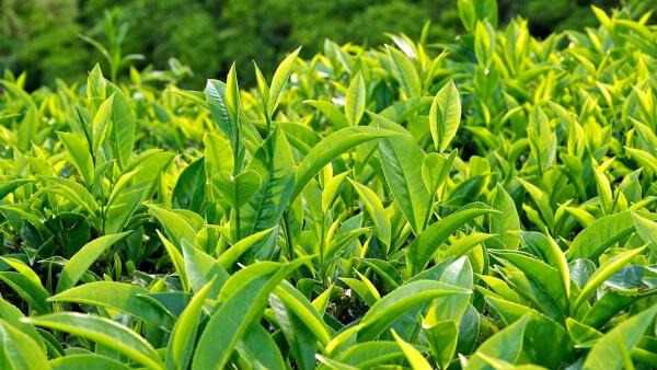 Lá trà xanh hỗ trợ giảm cơn ngứa nhanh và hiệu quả