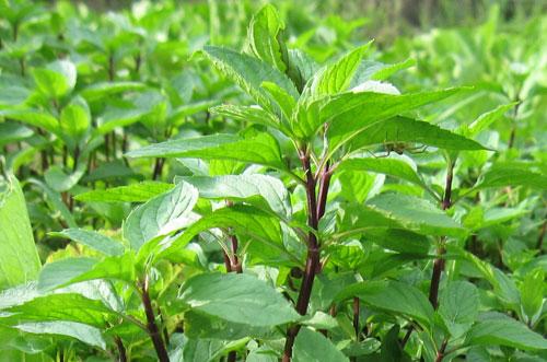 Cây húng quế là loại cây quen thuộc trong cuộc sống chúng ta