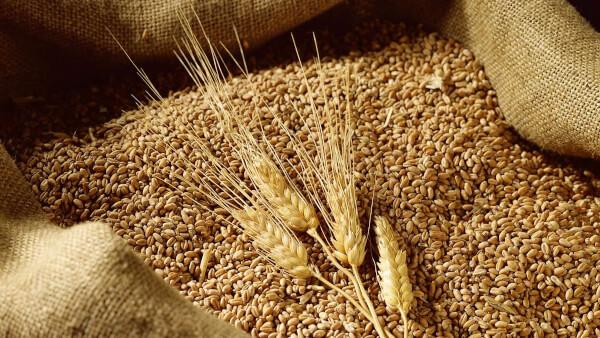 Lúa mì có lectic, một loại chất độc hóa học tự nhiên
